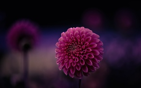 Picture flower, purple, macro, background, focus, petals, raspberry, Dahlia