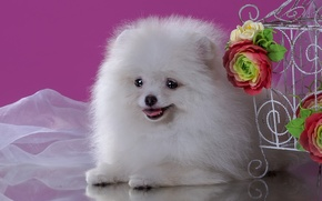 Picture white, flowers, cute, Spitz