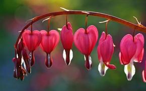 Picture flower, flowers, background, pink, widescreen, Wallpaper, blur, wallpaper, flowers, widescreen, flowers, background, broken heart, full ...