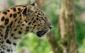 Picture face, predator, profile, wild cat, the Amur leopard
