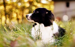 Wallpaper dog, grass, bokeh, border collie, Border Collie