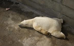 Wallpaper meat, polar bear, sleep, paws