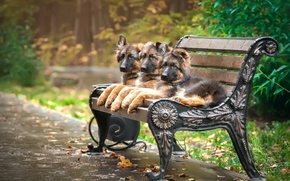 Picture bench, Park, puppies, trio, shepherd