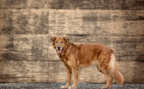Picture wall, dog, golden retriever, Brown at Sundown