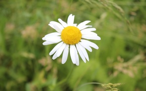 Picture flowers, chamomile, Meadow