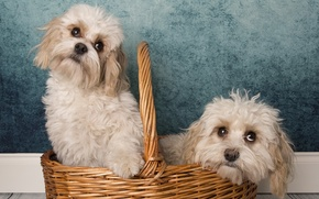 Picture dogs, background, basket