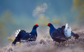 Picture bird, Sweden, grouse, This