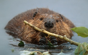 Picture water, branch, Alaska, Denali National Park, reserve, canadian beaver