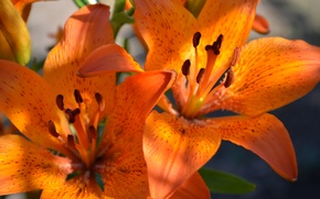 Wallpaper flowers, macro, orange, Lily