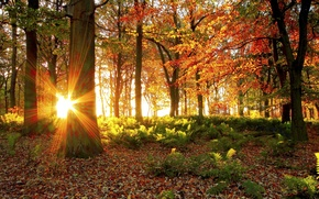 Picture forest, the sun, light, trees, foliage, Autumn