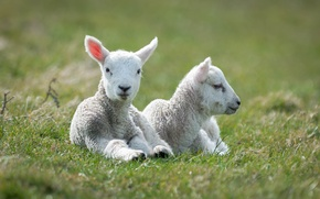 Picture sheep, white, two, lie, lambs