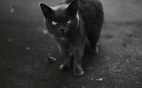 Wallpaper black and white, looks, cat