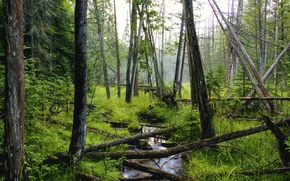 Picture forest, trees, stream, deadwood