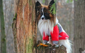 Picture dog, cutie, Papillon