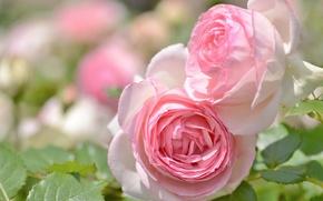 Wallpaper macro, tenderness, roses, buds