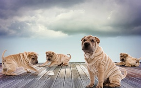 Picture dogs, the sky, clouds, Board, photoshop, hamster, puppies, play, Sharpay