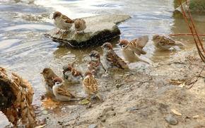 Wallpaper animals, water, wet, pen, bird, pack, sparrows