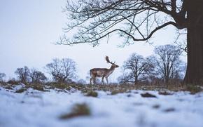 Wallpaper snow, branch, grass, trees, horns, deer