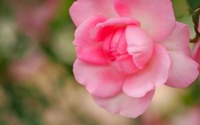 Wallpaper macro, pink, rose, petals, Bud, bokeh
