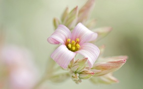 Picture flower, background, pink, branch, buds, inflorescence