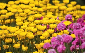 Picture field, flowers, yellow, background, pink, widescreen, Wallpaper, wallpaper, flowers, widescreen, background, full screen, HD wallpapers, …