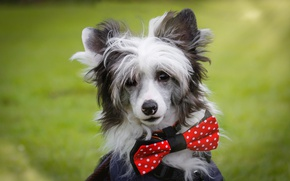 Wallpaper Chinese crested dog, face, butterfly, portrait, look, dog