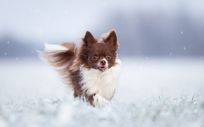 Picture winter, dog, Chihuahua