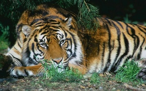 Picture cat, tiger, tigers
