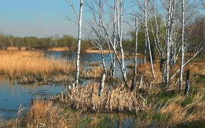 Picture water, nature, Spring, birch