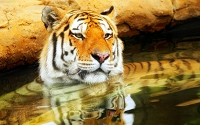 Picture nature, tiger, background