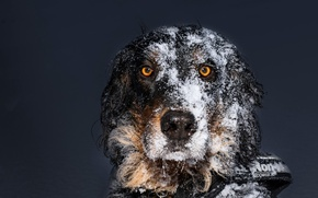 Picture look, snow, each, dog