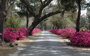 Picture trees, nature, spring, track, Nature, alley, flowering, trees, spring, path, flowering