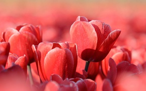 Picture nature, spring, tulips, Lepestki