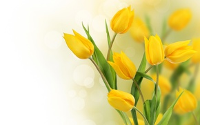 Picture photo, Flowers, Yellow, Tulips
