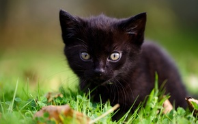 Wallpaper grass, kitty, baby, muzzle, black kitten, look