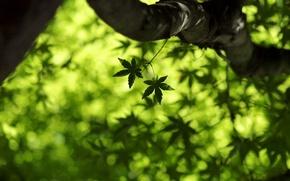 Picture greens, summer, leaves, macro, freshness, spring, maple, leaves, leaf, maple leaf, green macro, leaf wallpapers, …