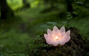 Picture greens, forest, pink, candle, Lotus