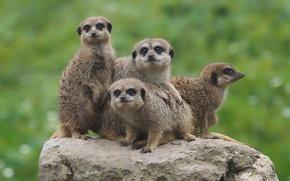 Wallpaper background, stone, meerkats, Quartet