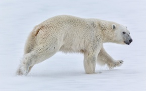 Picture snow, bear, Norway, polar bear, Norway, Svalbard, Svalbard