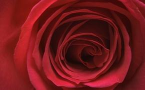 Picture macro, rose, petals, Bud, red rose