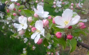 Picture spring, may, Apple, flowering