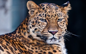 Picture mustache, look, face, leopard, lies, leopard, beautiful, sad, the dark background, a large spotted cat, ...