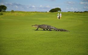 Wallpaper greens, field, summer, grass, the sun, people, lawn, the situation, crocodile, Golf, bokeh, alligator
