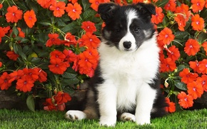 Picture flowers, puppy, luchok