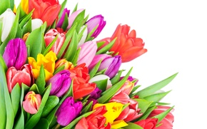 Picture colorful, tulips, flowers, tulips