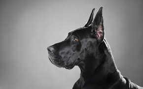 Picture black, dog, profile, breed, great Dane