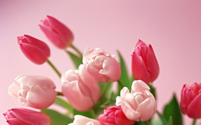 Picture Wallpaper, bouquet, Bud, tulips, leaves