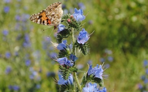 Picture flowers, nature, Butterfly