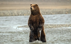 Picture WATER, BEAR, PAWS, STAND, CLAWS