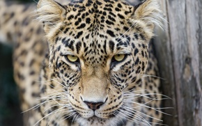 Picture cat, look, leopard, Persian, ©Tambako The Jaguar